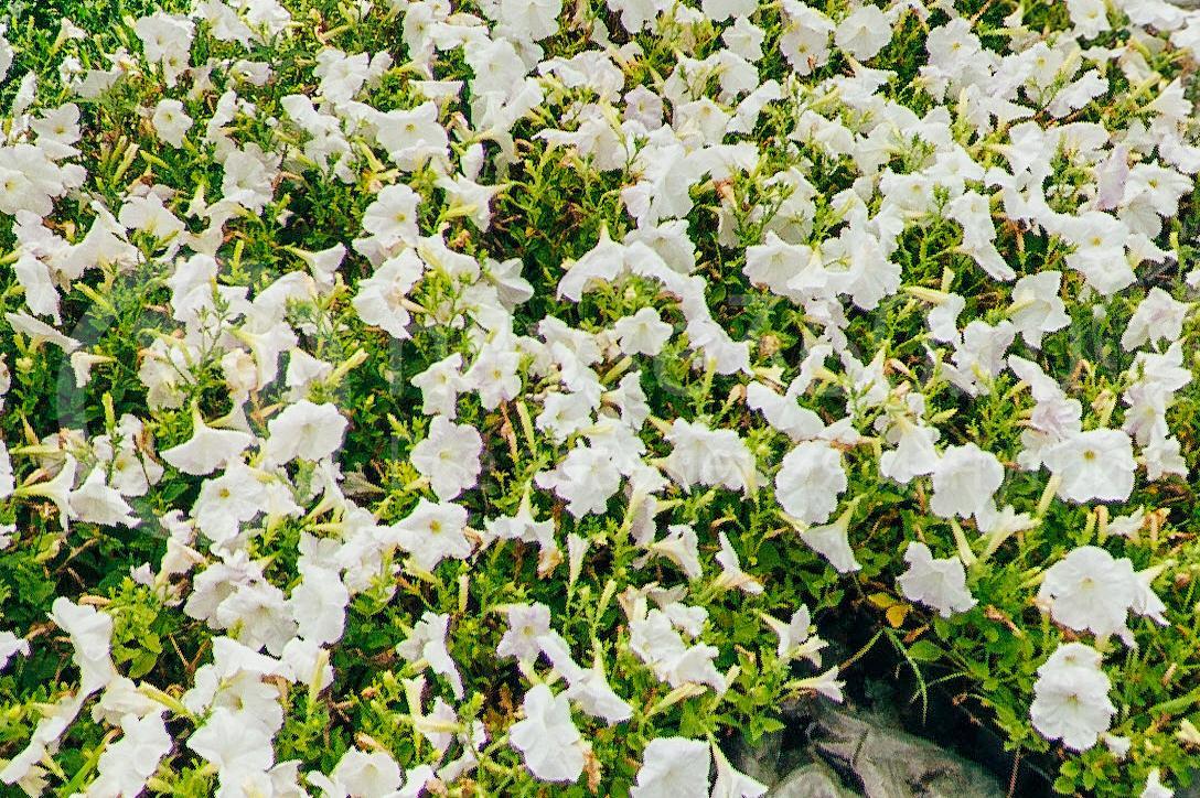 совхоз цветочный, рассада оптом краснодар 26