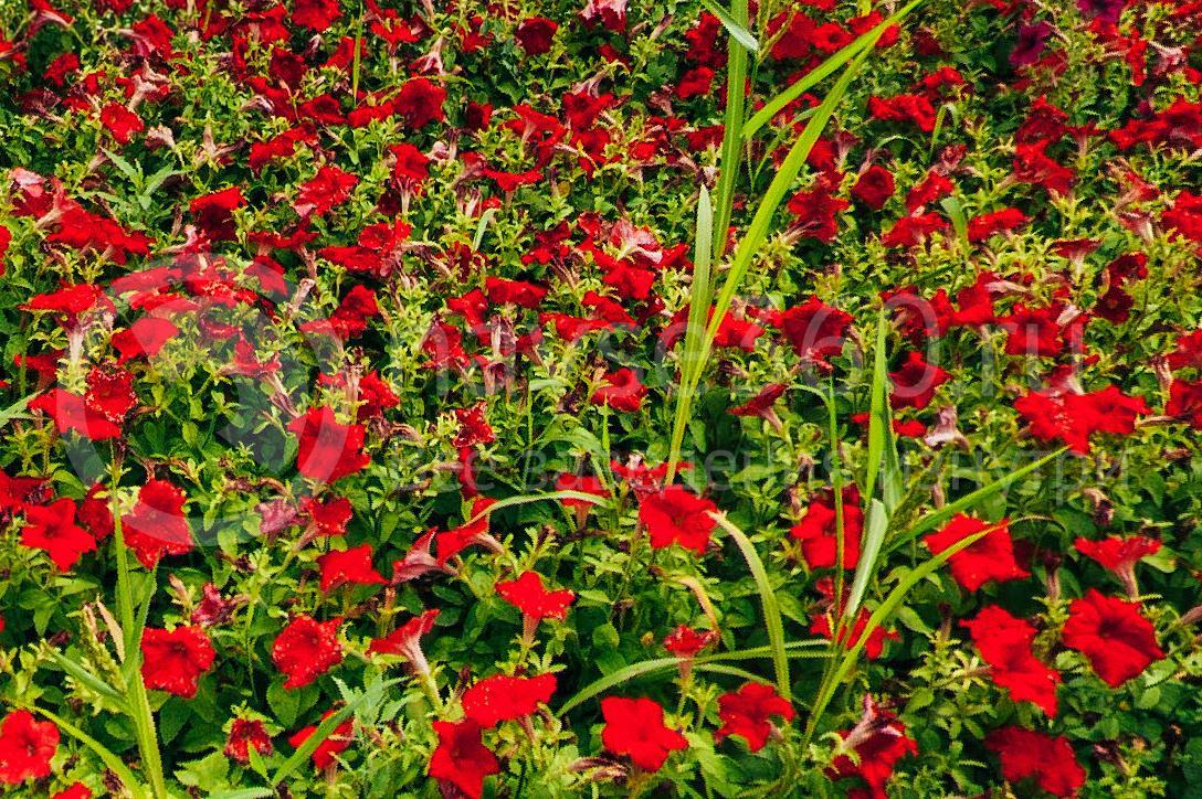 совхоз цветочный, рассада оптом краснодар 33